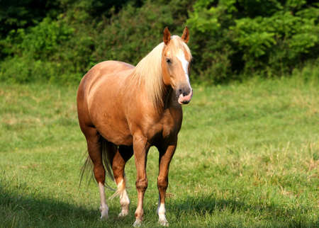 grass field: Beautiful Tan Horse