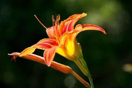 Orange Day Lily - Hemerocallis fulva