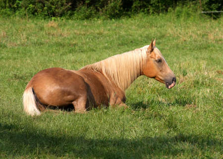 Beautiful Tan Horse Laying Down In Grass photo