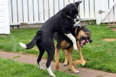 large dog: Two Dogs Playing