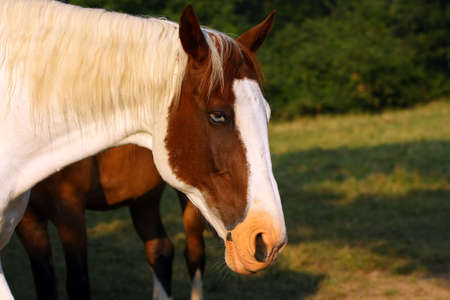 Blue-eyed Horse Head Shot Stock Photo - 7319305