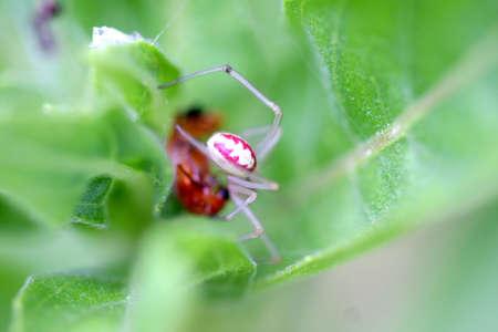 arachnophobia animal bite: Candy-stripe Spider - Enoplognatha ovata