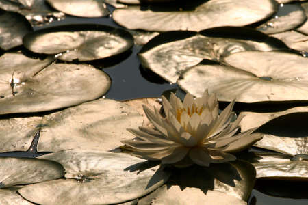 fragrant: Fragrant Water Lily-Nymphaea odorata Stock Photo