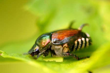 Japanese Beetle -  Popillia japonica photo