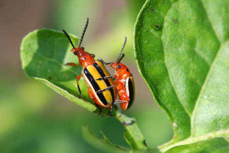chitin: Three-lined Potato Beetle - Lema trilineata