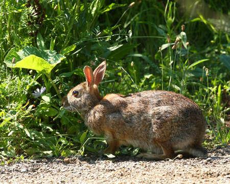 lagomorpha: Cottontail Rabbit - Sylvilagus