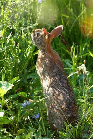 Cottontail Rabbit - Sylvilagus