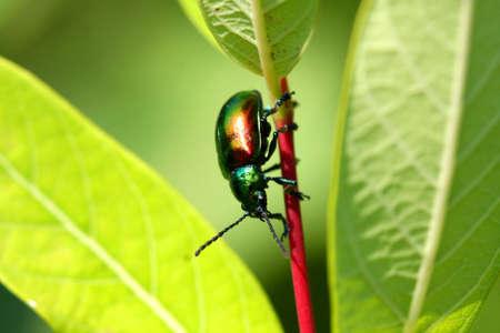 chitin: Dogbane Leaf Beetle - Chrysochus auratus Stock Photo