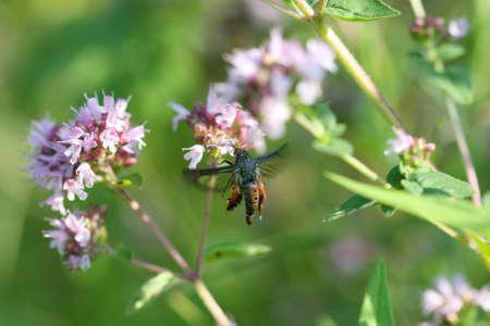 borer: Squash Vine Borer Moth - Melittia cucurbitae