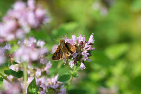 skipper: Woodland Skipper Butterfly