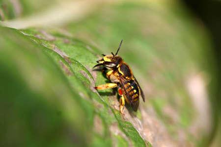 Leaf-cutting Bee Megachile rotundata