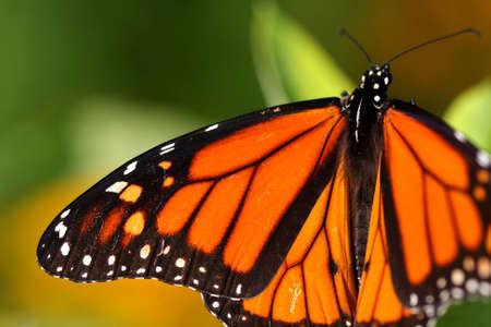 danaus: Monarch Butterfly - Danaus plexippus