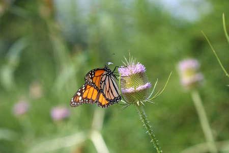 plexippus: Monarch Butterfly - Danaus plexippus Thistle