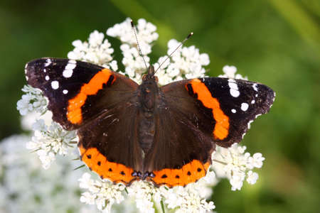 admiral: Red Admiral Butterfly Vanessa atalanta