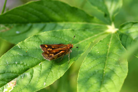 ochlodes: Byssus Skipper Butterfly Problema byssus