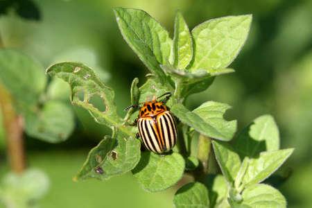 chitin: Colorado Potato Beetle Leptinotarsa decimlineata Stock Photo