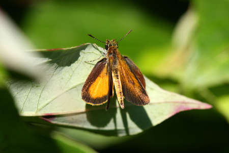 European Skipper Butterfly - Thymelicus lineola photo