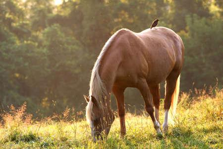Tan Horse in morning light photo