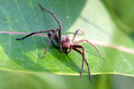 nursery web spider: Nursery-web Spider - Pisauridae
