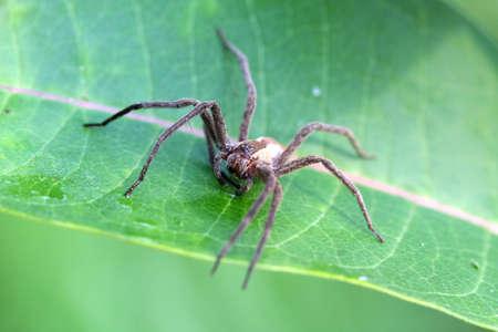 pisauridae: Nursery-web Spider - Pisauridae