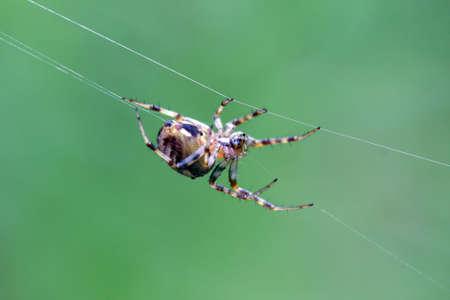 arachnophobia animal bite: Orb Weaver Spider - Neoscona arabesca