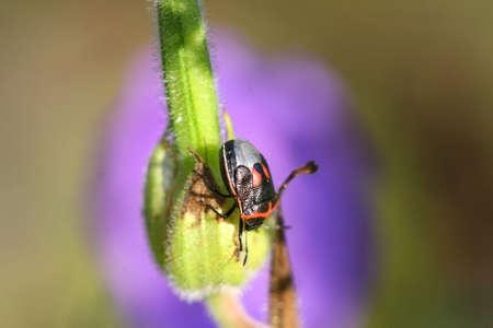 chitin: Stink Bug - Cosmopepla lintneriana Stock Photo