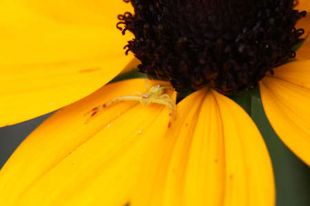 Yellow Crab Spider Misumena vatia Stock Photo - 7546900