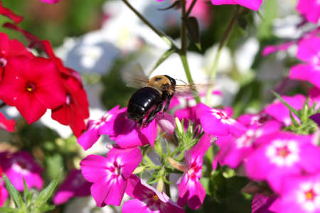 Carpenter Bee Xylocopa Stock Photo - 7546918