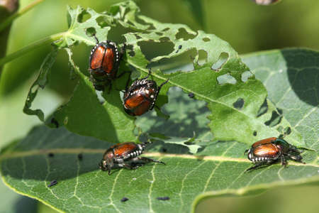 Japanese Beetle Popillia japonica photo