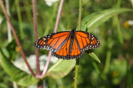 plexippus: Monarch Danaus plexippus