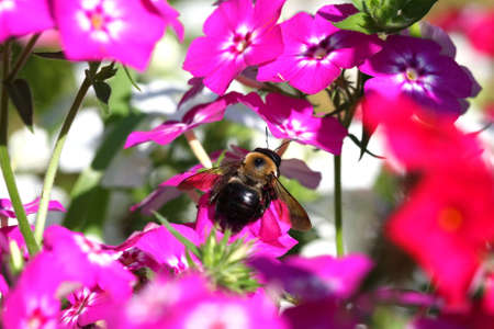 Carpenter Bee Xylocopa Stock Photo - 7546924
