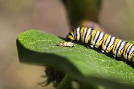 Caterpillar Monarch Butterfly photo