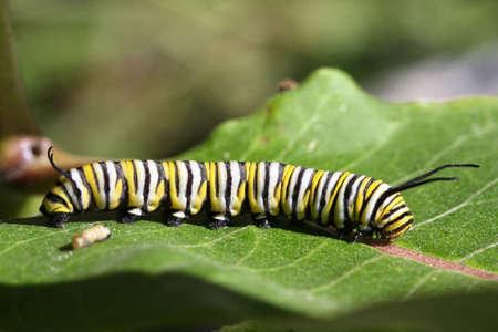 oruga: Mariposa monarca Caterpillar  Foto de archivo