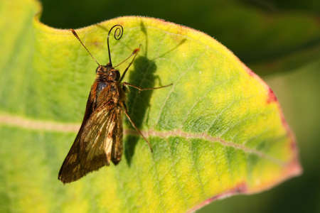 ochlodes: Skipper Butterfly