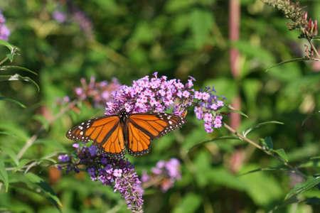 danaus: Monarch Butterfly Danaus plexippus on Butterfly Bush