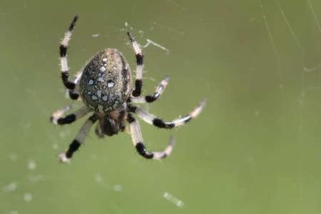 trifolium: Shamrock Spider - Araneus trifolium