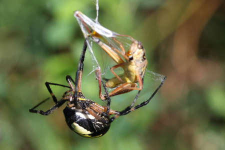Black & Yellow Garden Spider Female with grasshopper Stock Photo - 7612751