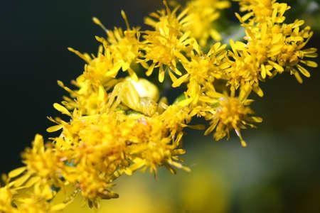 goldenrod crab spider: Goldenrod Crab Spider Misumena vatia