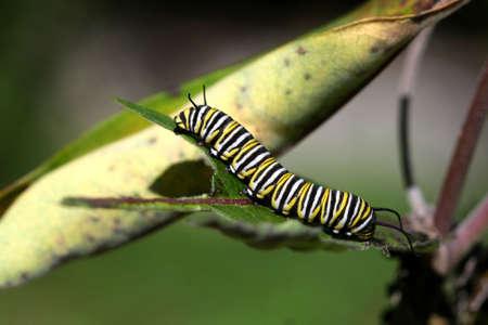 Monarch Butterfly Caterpillar On Milkweed Stock Photo - 7612564