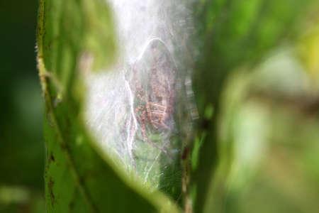pisauridae: Nursery-web Spider - Pisauridae making nest