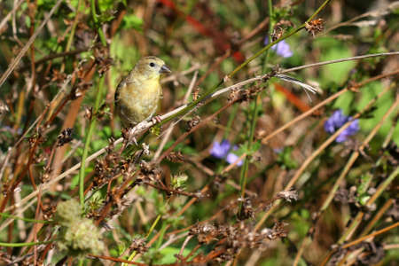 carbonaceous: Young American Goldfinch Stock Photo