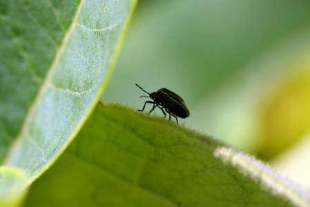 tufo: Silueta de f�tidas Bug Pentatomoidea