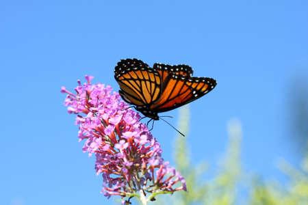 butterflies flying: Archippus Limenitis de mariposa de Virrey