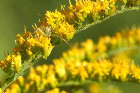 goldenrod spider: Goldenrod Crab Spider sul fiore goldenrod