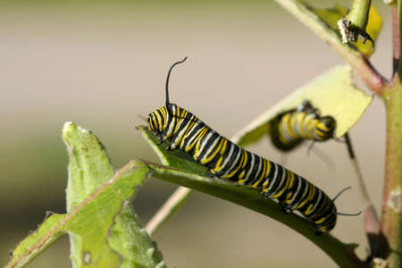 Monarch Butterfly Caterpillar photo