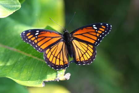 viceroy: Viceroy Butterfly Limenitis archippus