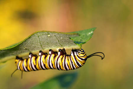 Carterpillar du papillon monarque À Asclépiade