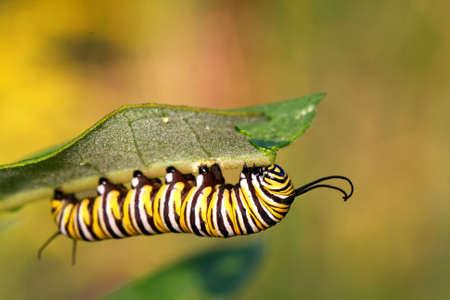 Monarch-Schmetterling-Raupe auf Wolfsmilch