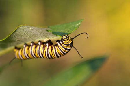 milkweed butterfly: Monarch Butterfly Caterpillar On Milkweed