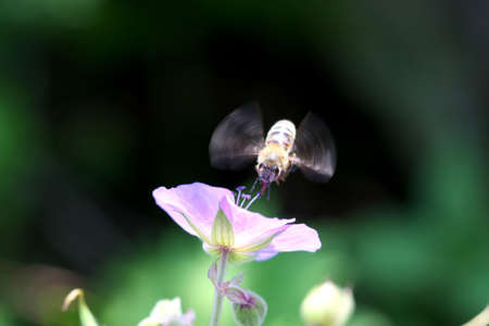 Bee in front of wild Geranium flower Stok Fotoğraf
